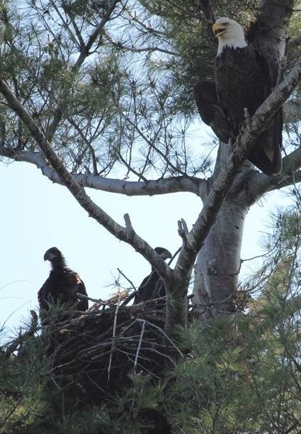 Nesting bald eagles. (NYSDEC photo)