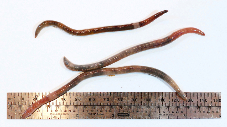 Earthworms belonging to the Amynthas species complex. (Credit: Nick Henshue)