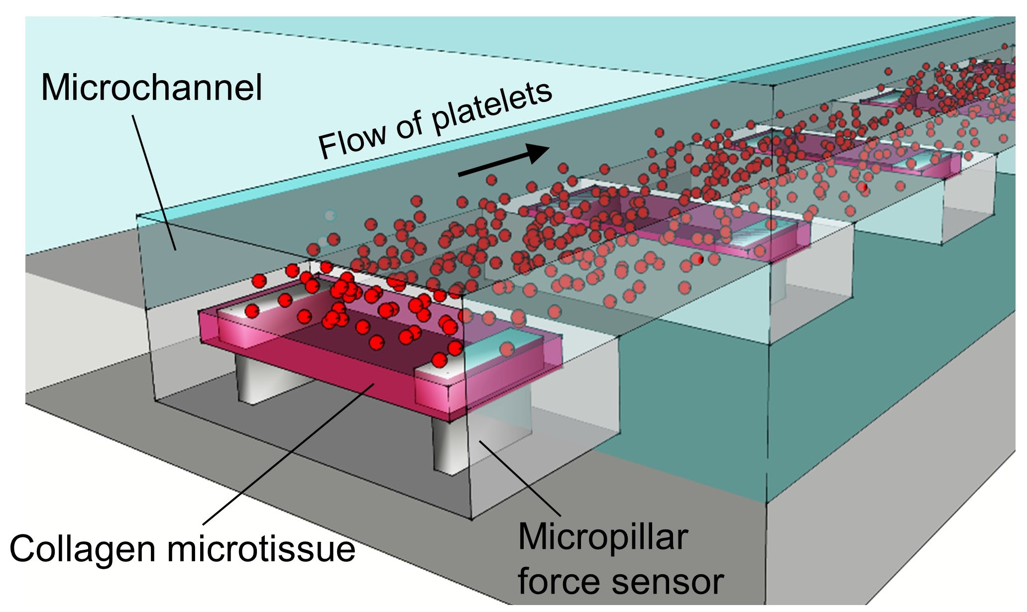 This diagram demonstrates how the engineered tissue model works to mimic the clotting upon blood vessel injury. Platelets adhere to the collagen microtissue that represents the collagen layer in the blood vessel. The micropillars that support the microtissue sense the stiffness of the microclots that form when exposed to different flow rates, which mimic venous or arterial flow in the body.​ (Credit: Zhao, Neelamegham, et al., from their paper in Nature Communications)