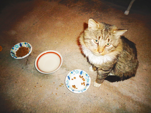 This cat was called `Big Boy` and survived several months outside, but also contracted leukemia and had to be put down. Noel did survive, and is shown below.