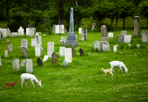 White deer grazing in the First Baptist Church Cemetery on the depot site. (Photo by Dennis Money)