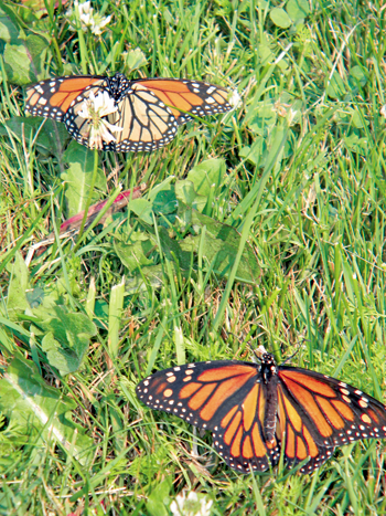 Monarch butterflies released signify a new future for the Stella Niagara Preserve.