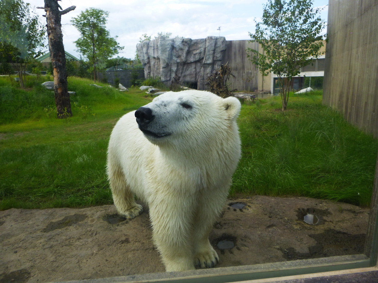 Luna the polar bear stands in her new enclosure Friday evening in the Buffalo's Zoo's new Arctic Edge exhibit. The exhibit opens to the public Sept. 12.