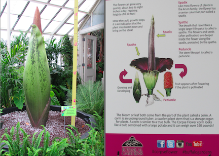 """Morty the corpse flower"""