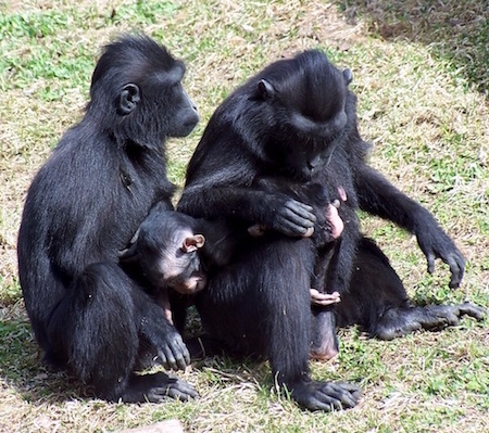 Two Sulawesi crested macaques. (Buffalo Zoo photo)