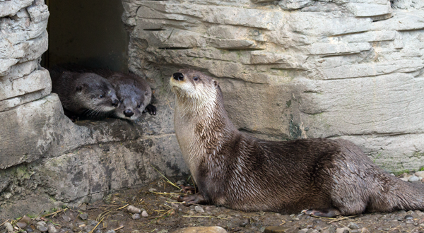 River otter pups.