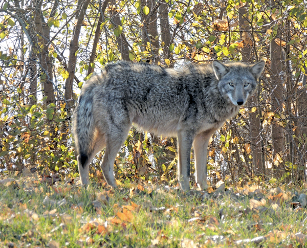 This Island coyote was photographed by Cathy Chamberlin from her car on the West River Parkway just south of Staley Road on Nov. 21, 2012.