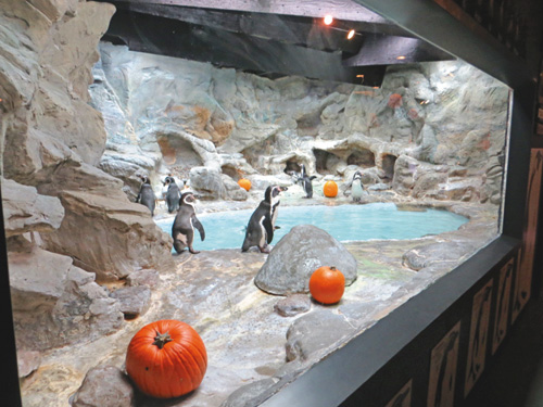A colony of Humboldt penguins at the Aquarium of Niagara's `Halloween Happenings.`