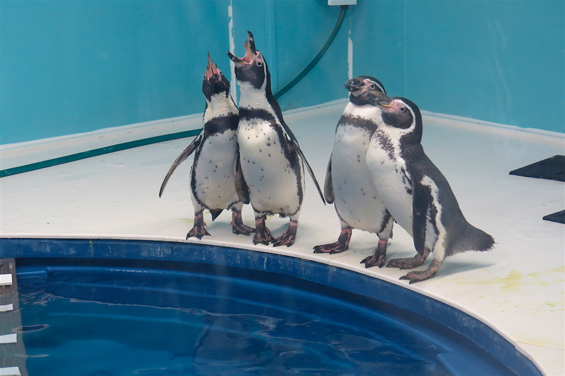The Aquarium of Niagara's seven Humboldt penguins will have a new home starting in the spring of 2018, thanks to the efforts of a successful fundraising campaign. With new accommodations in place, the venue will seek to add more penguins to the downtown Niagara Falls facility.