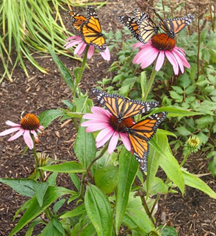 Butterflies take in nectar from surrounding plants at the 2014 Niagara Hospice Memorial Butterfly Release. (Contributed photo)