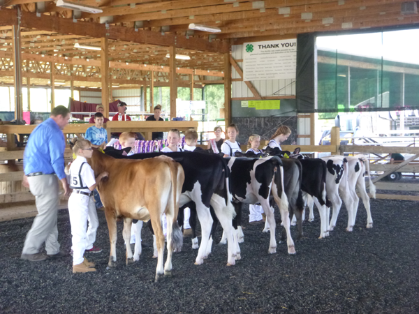 Competitors in the beginner dairy cattle showmanship division line up at the event Friday at the Niagara County Fair.