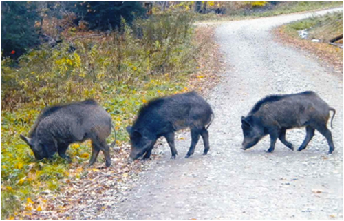 Three hogs spotted in 2009 in Alleghany State Park.
