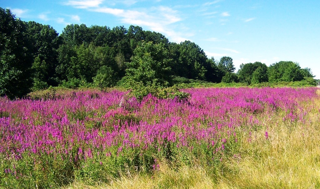 Purple loosestrife in a meadow just outside Lewiston.