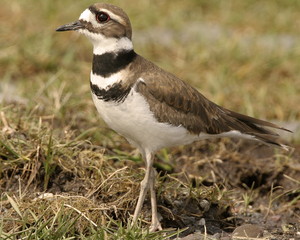 The killdeer is seldom seen around Western New York. (Audubon Society photo)
