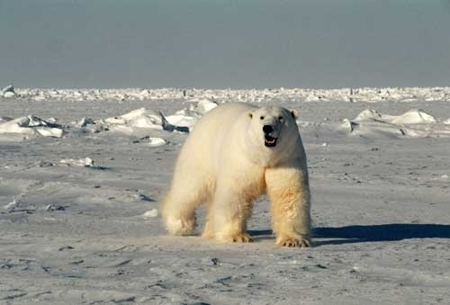 A male polar bear. (photo courtesy U.S. Geological Survey/Steven C. Amstrup)
