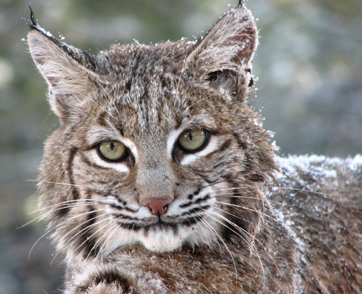 bobcat - photo #28