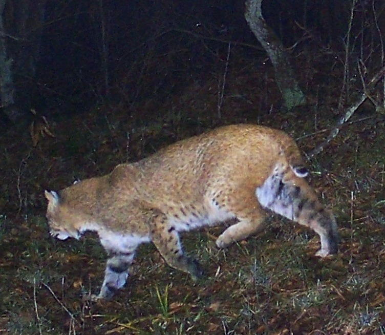 Bobcat sightings are on the rise in northern Niagara.