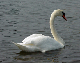 DEC eyes eliminating mute swans statewide.