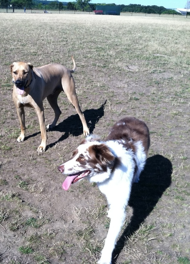 Cooper plays with a friend at Lewiston's dog park.